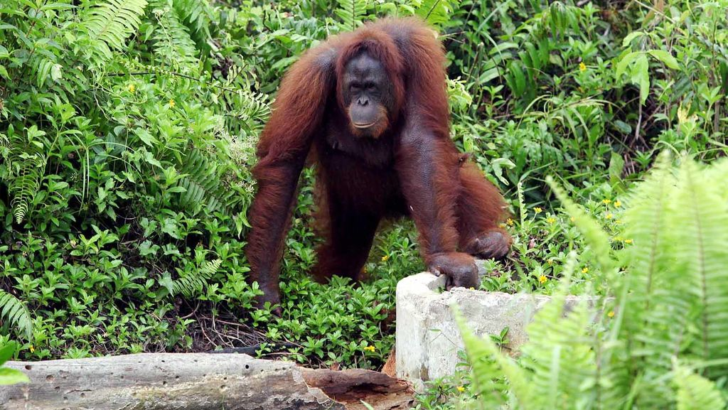 Kasihan, Orangutan di Aceh Dibacok karena Serang Warga