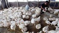 Harga Ayam Tinggi, Kementan: Ada Gagal Panen dan Cuaca Buruk