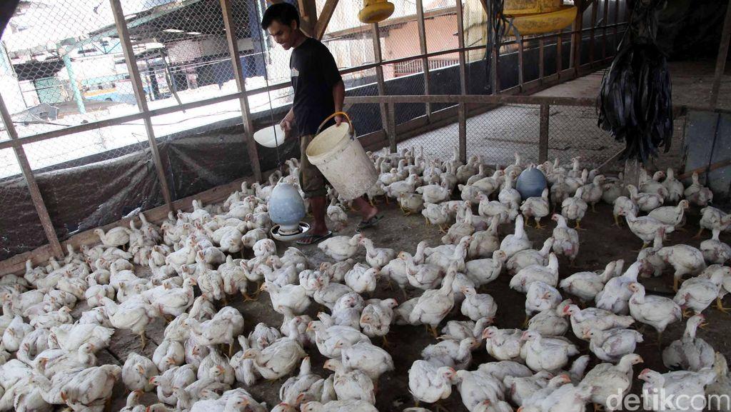 Mentan Berikan Bantuan 10 Juta Ekor Ayam Tahun Ini