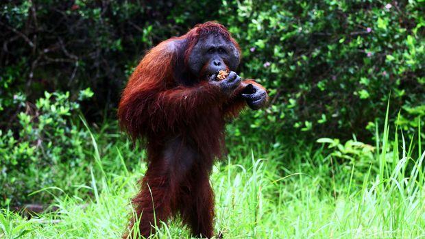 Orangutan di Taman Nasional Tanjung Puting (Agung Pambudhy/detikcom)