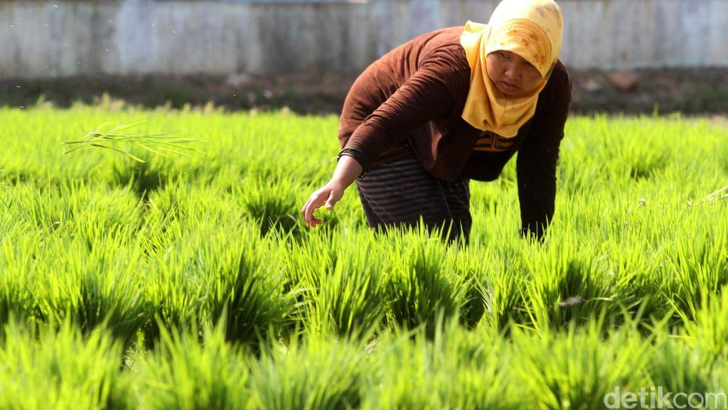 7 Provinsi Ini Jadi Lokasi Perluasan Lahan Pertanian di Luar Jawa