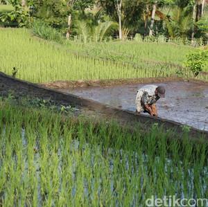 Petani Lokal Lebih Pilih Bibit Kualitas Rendah, yang Penting Murah