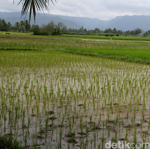 Mentan Jamin Sawah Terendam Banjir Tak Ganggu Stok Beras Nasional