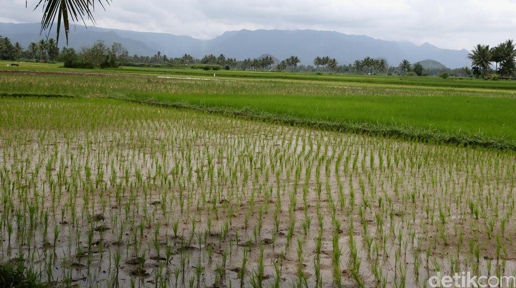 500 Ribu Hektar Rawa akan Digarap Jadi Lahan Pertanian