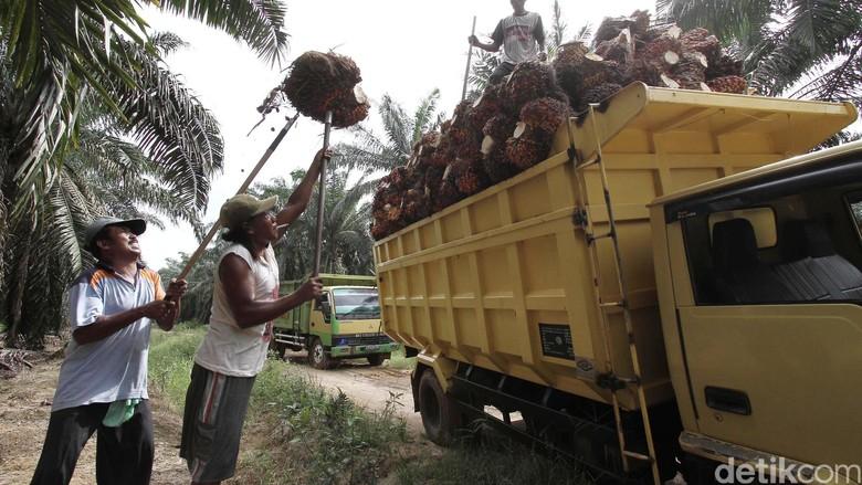 185.000 Ha Kebun Sawit Rakyat Diremajakan, Mulai dari Riau