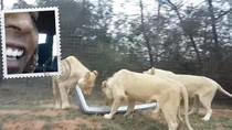 Lagi Asyik Safari, Mobil Turis di Afrika Selatan Dipreteli Singa