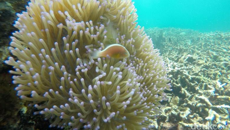Foto: Pemandangan bawah laut Pahawang (Agung Pambudhy/detikTravel)