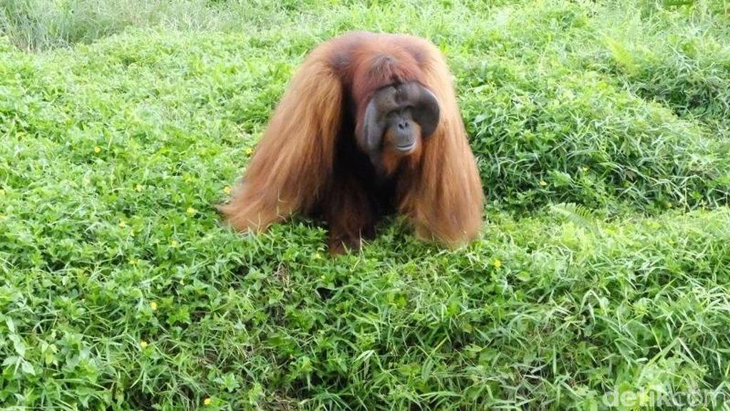 Momen Haru Ibu Hamil Saat Perutnya Dicium Orangutan