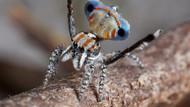 Tarian Indah Laba-laba Merak