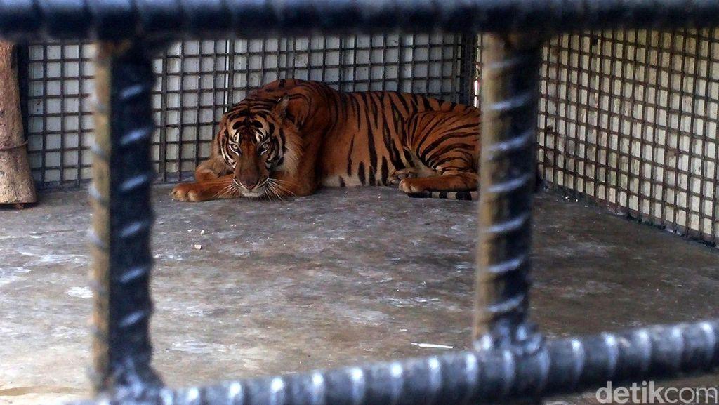 BKSDA Gagalkan Upaya Warga Racuni Harimau yang Makan Ternak