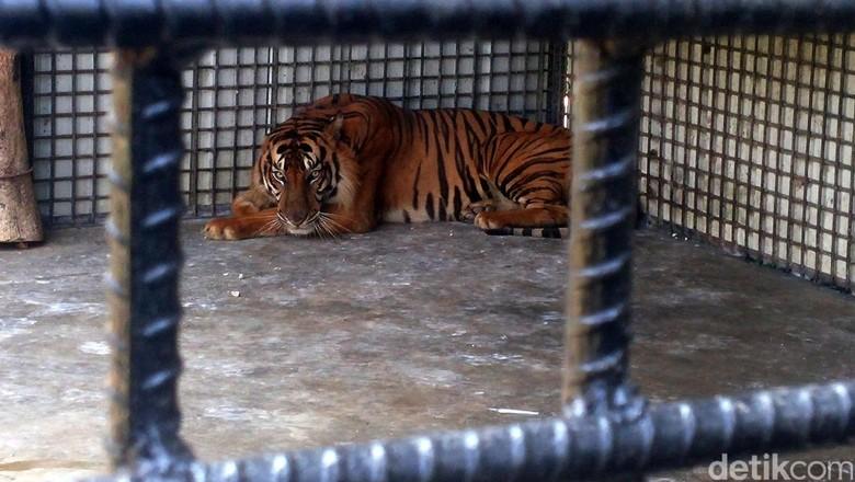 Mengerikan! Ini Detik-detik Juamiti Diterkam Harimau hingga Tewas