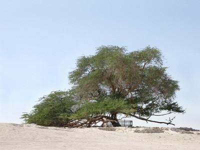 Cerita Pohon Jomblo di Bahrain