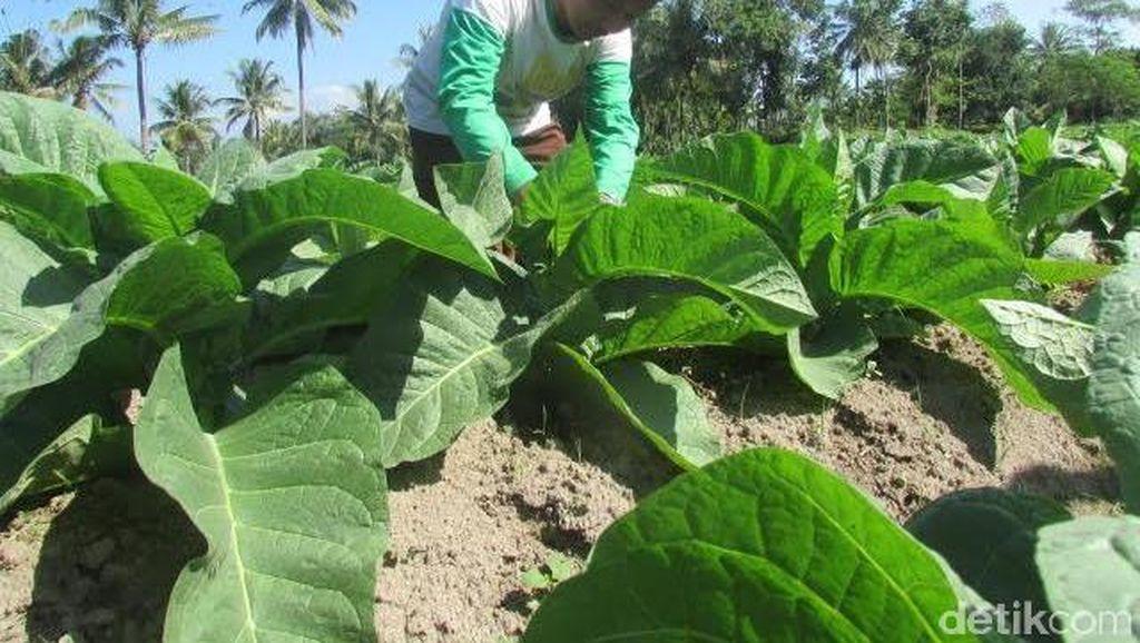 DPR Usulkan Pabrik Rokok Wajib Serap 80% Tembakau Lokal