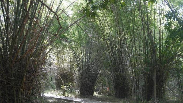 Foto: Bambu duri di jalan menuju Gua Batu Cermin (Kurnia/detikTravel)