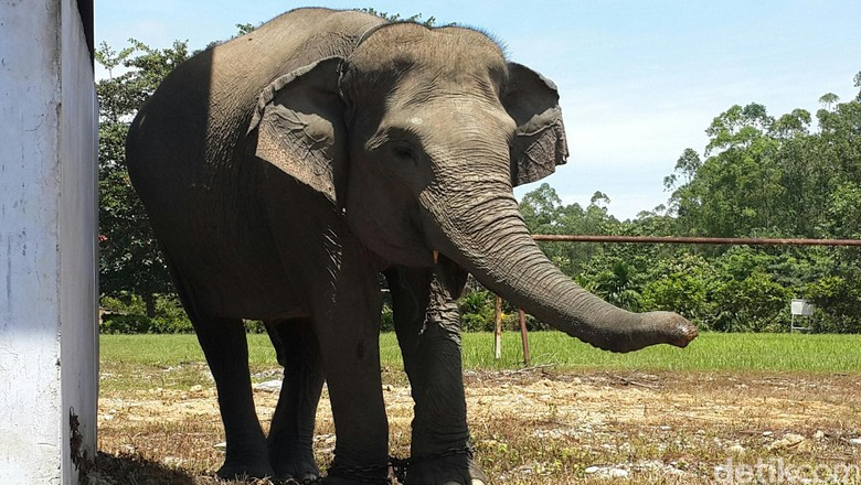 Gajah di Riau Bikin Heboh - Jakarta liar di Riau masuk permukiman Gajah masuk dapur diduga karena kelaparan lantaran habitatnya unik ini terjadi di