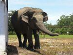 Kelaparan, Gajah di Riau Bikin Heboh Masuk ke Dapur Warga