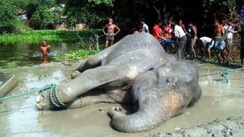 Penyelamatan Gajah Hanyut Sungai Bangladesh Kisah Gambar Diwarnai