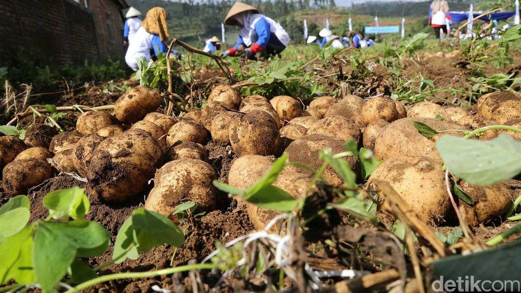 Masalah Petani Kentang: Jual ke Tengkulak Hingga Serangan Hama dan Penyakit