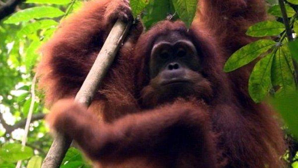Akhirnya, Orangutan Kebun Binatang Perth Pulang ke Hutan Indonesia