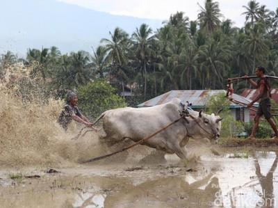 Karapan Sapi & Pacu Jawi, Atraksi Balap Sapi Khas Indonesia