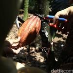 Produksi Kakao di RI Masih Rendah, Ini Penyebabnya