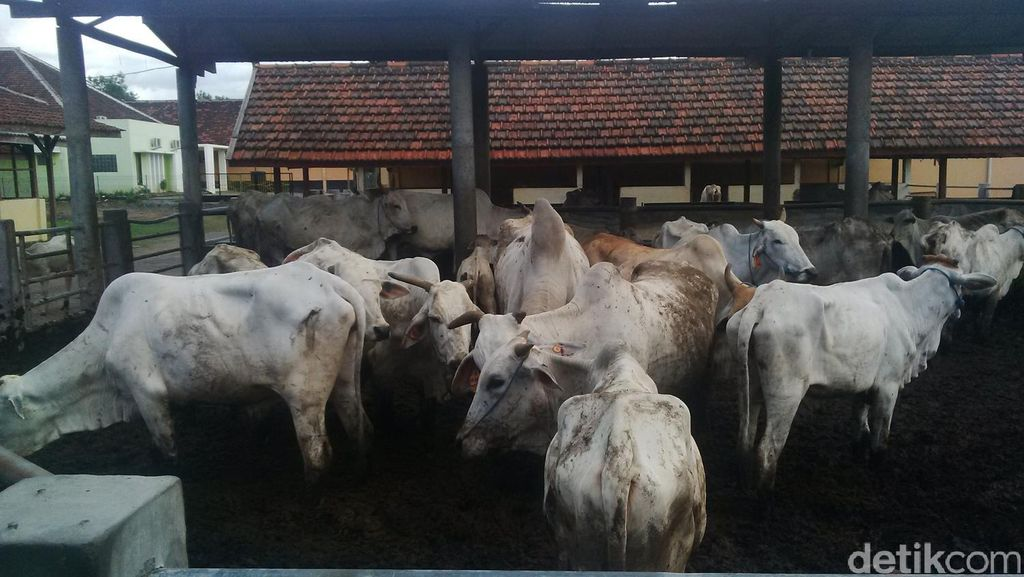 Tahun Lalu, 22.278 Ekor Sapi Betina Produktif Berakhir di Rumah Jagal