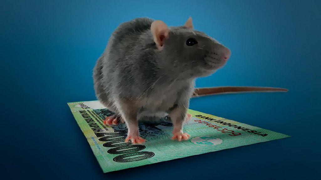 Seberapa Efektif Gerakan Basmi Tikus Bantu Cegah Penyakit Kencing Tikus?