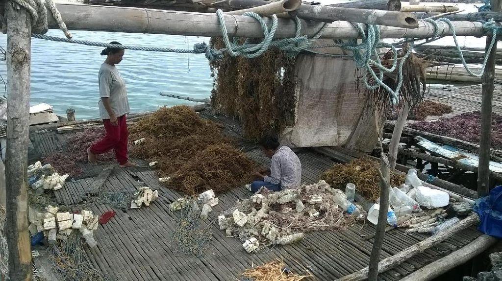 Yuk, Belajar Tambak Rumput Laut di Wakatobi