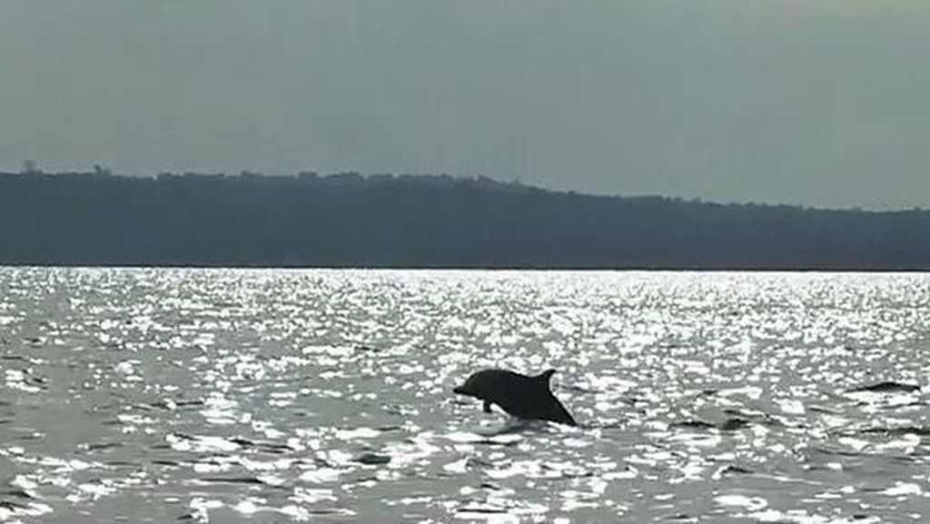 Lumba-lumba Disembelih di Karangasem, Polisi Panggil Ahli