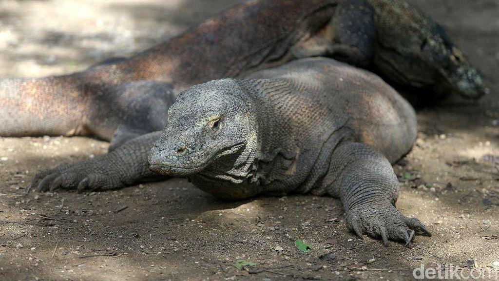 Melihat Komodo di Habitat Aslinya di Pulau Rinca