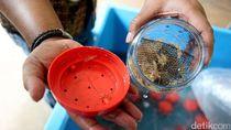 Polisi Tangkap Pengekspor Ilegal 30 Ribu Benih Lobster