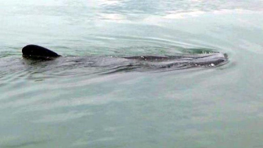 Kawanan Hiu Paus Jadi Magnet Wisatawan di Pantai Duta Probolinggo