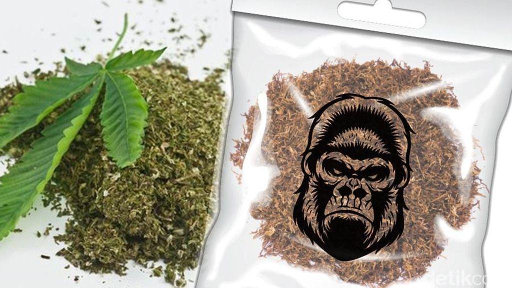 Januari: Gangguan Kejiwaan Menyerang Pilot, Ekstrak Dagga Tembakau Gorila