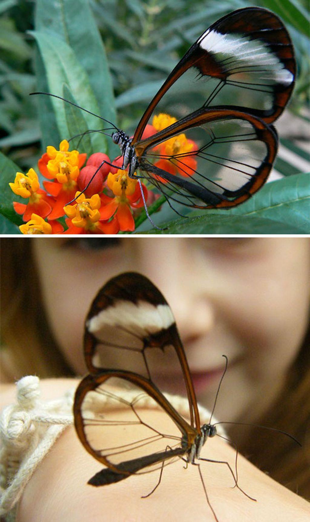 Sayap kupu-kupu cantik ini bisa tembus pandang, ini adalah jenis kupu-kupu Galsswinged (Greta Oto). Kupu-kupu ini dapat sebagian besar dapat ditemukan di Chili, New York, Amerika Serikat. (Foto: internet)