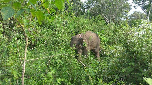 Sebagian gajah, hanya butuh waktu  satu tahun untuk dilatih dan siap dibawa mengusir gajah liar.