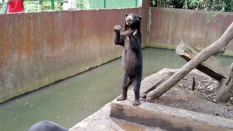 Foto: Beruang madu di Bonbin Bandung (Avitia Nurmatari/detikTravel)