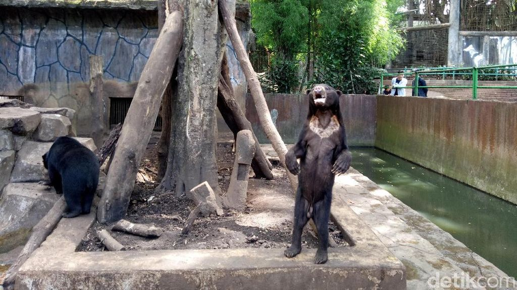 Perhimpunan Bonbin: Beruang Sesekali Makan Kotoran Sendiri itu Normal