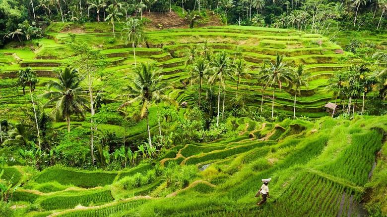 Ilustrasi Persawahan di Ubud, Bali (Thinkstock)