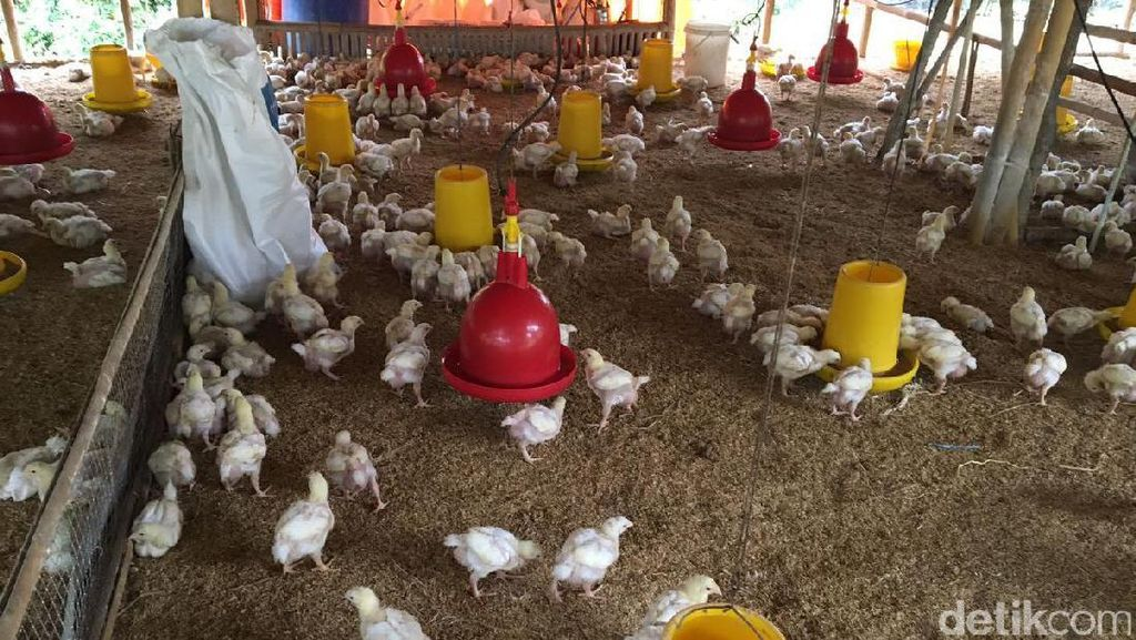 Cerita Peternak Ayam Cari Jagung Hingga Beli Pakan Pabrikan