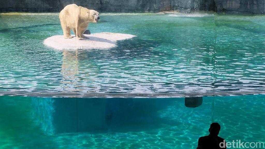 Bertemu Beruang Kutub di Singapore Zoo