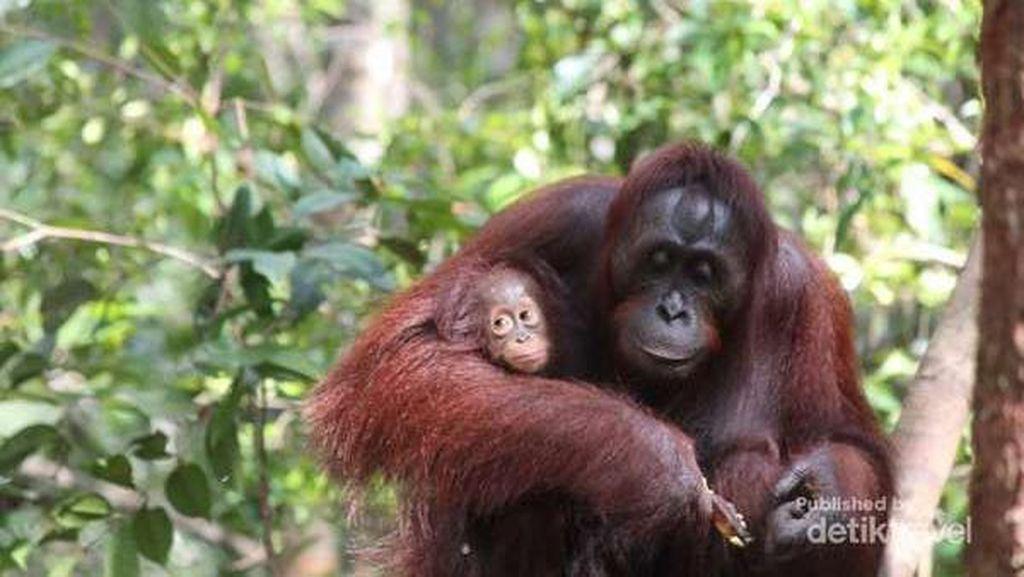 Julia Roberts yang Bikin Birahi Orangutan Tanjung Puting