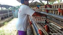 Pakan Ternak AGP Dilarang, Ayam di Blitar Diserang Penyakit