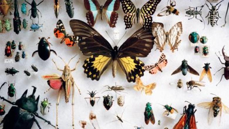 Ilustrasi spesimen serangga awetan (Thinkstock)