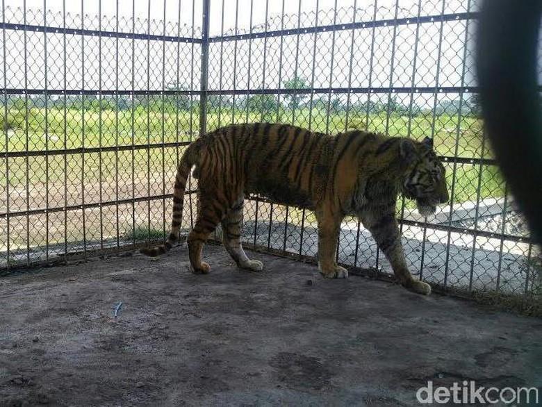 BKSDA Jatim Evakuasi Harimau Sumatera dari Ponpes Metal