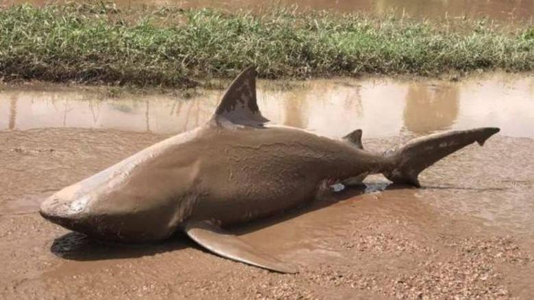Akibat Topan Debbie, Hiu Banteng Terdampar di Jalanan Queensland