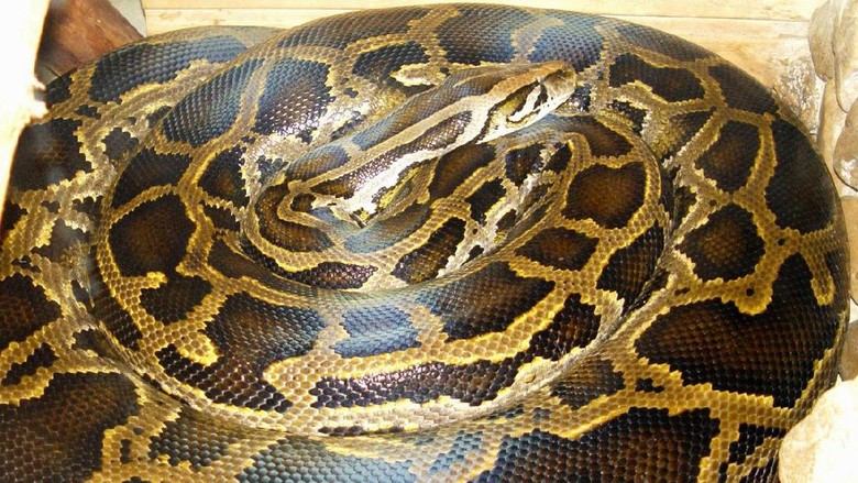 Jajaran ular terbesar di dunia melihat jajaran ular terbesar di dunia reheart Image collections