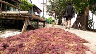 Sudah Nggak Dituding KW, Rumput Laut RI Bisa Masuk AS