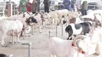 Domba dan Sapi di Bandung Kini Dipamerkan di Showroom Ternak