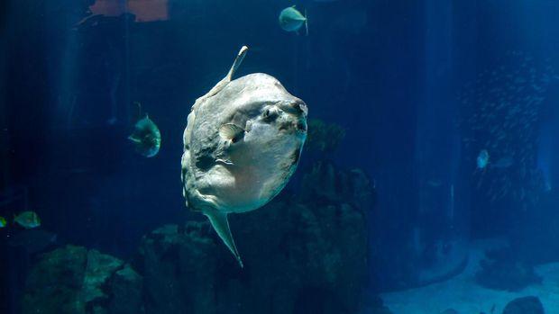 Mola-mola, Ikan Paling Ajaib dari Indonesia