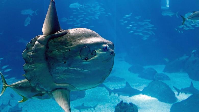 Mola mola super unik yang bisa ditemui di Nusa Penida, Bali (Thinkstock)